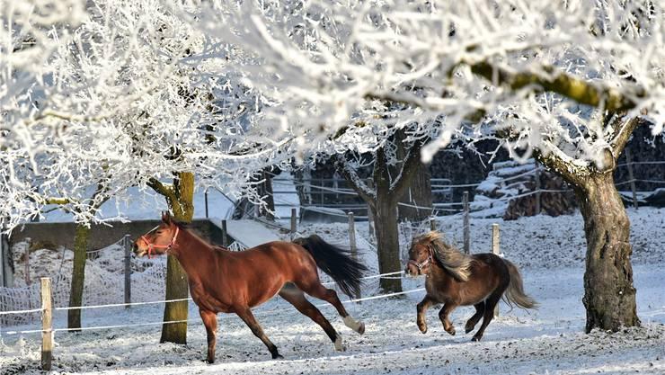 Pferd und Pony in Hauenstein galoppieren über die schneebedeckte Koppel.