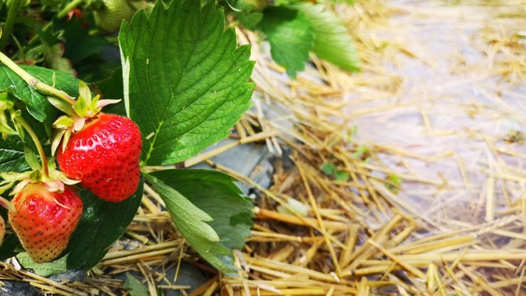 Der Regen hat im Erdbeerfeld der Familie Mann in Selzach Wasserlachen hinterlassen. Es gibt beschädigte, aber auch noch viele schöne Erdbeeren.