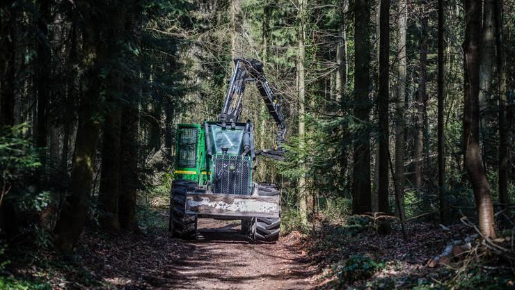 Im Bellacher Wald müssen kranke Eschen gefällt werden.