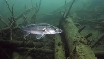 Speisefische wie der Zander beissen bei den Basler Fischern wieder häufiger an.