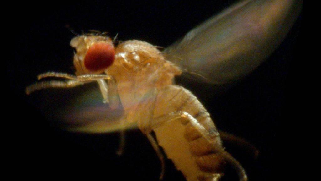 Schweizer Forschenden ist es gelungen, eine hauchdünne Augenbeschichtung von Insekten - wie sie auch die Fruchtfliege aufweist - nachzubauen.