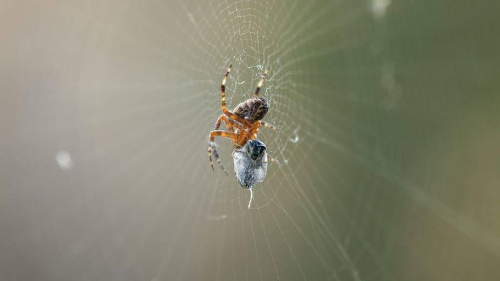 Forscher wollen von Spinnen Umgang mit klebrigen Fasern lernen