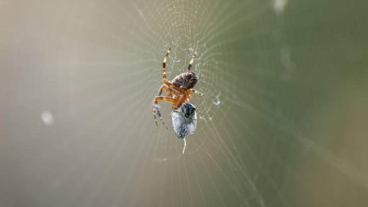 Obwohl die Wollfäden der Netze der cribellaten Spinnen durchgehend klebrig sind, bleiben die Spinnen nicht dran hängen. Forscher wollen wissen, wie man das macht, um selber beim Experimentieren nicht an klebrigen Nanofasern kleben zu bleiben. (Symbolbild)