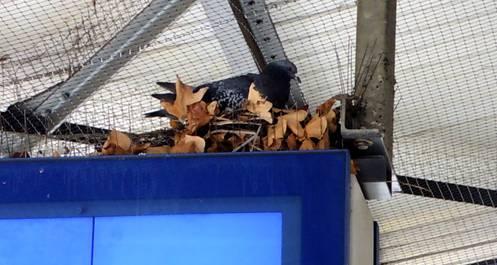 Kreativ: Hier nistet ein Taubenpärchen über der Perron-Anzeige am Bahnhof Baden – trotz Stacheldraht.