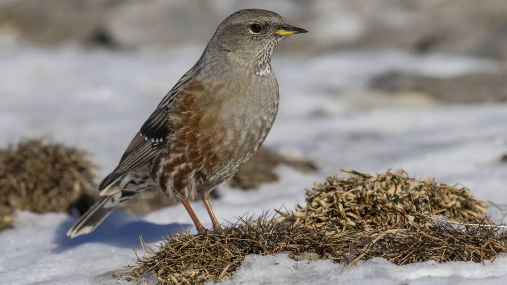 Klimawandel lässt Lebensraum vieler Vögel schrumpfen
