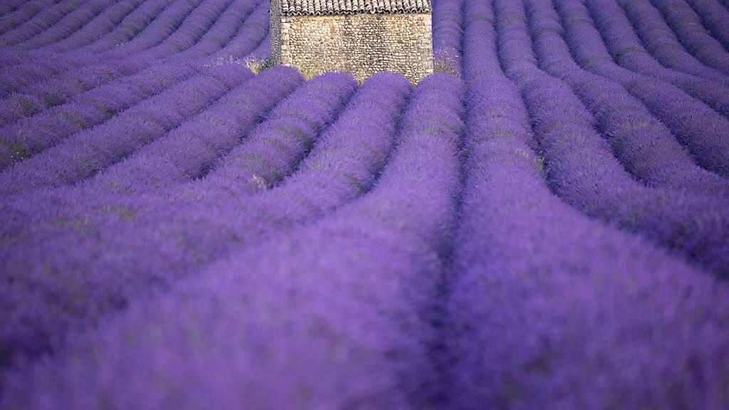 dpatopbilder - ARCHIV - Die Lavendelfelder in der Provence sind nicht nur ein Touristenmagnet, die Gewinnung ätherischer Öle ist auch ein Wirtschaftsfaktor. Foto: Christophe Simon/AFP/dpa