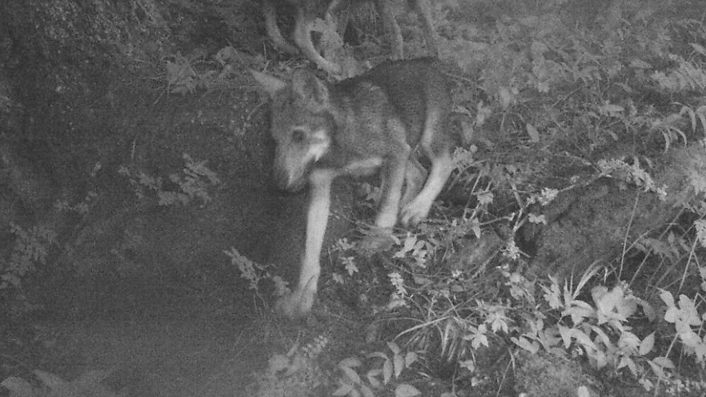 Das Video einer im Walliser Chablais aufgestellten Überwachungskamera zeigt sieben Wolfswelpen in Begleitung eines männlichen Wolfes.