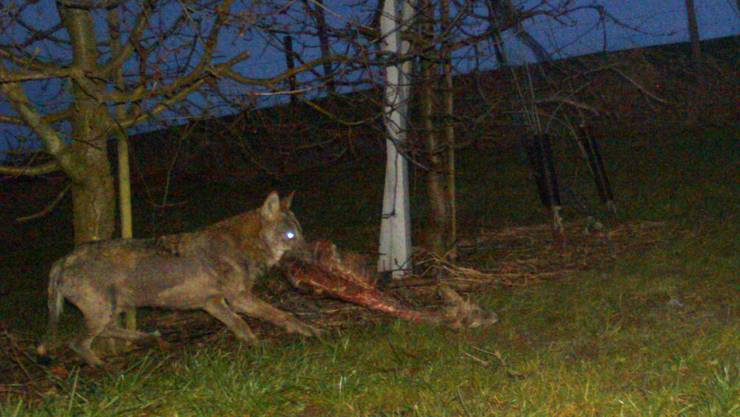 Bern meldet für das letzte Jahr einen deutlichen Rückgang von Wolfsrissen. Diese gehen alle zurück auf das Konto desselben Tieres. (Symbolbild)