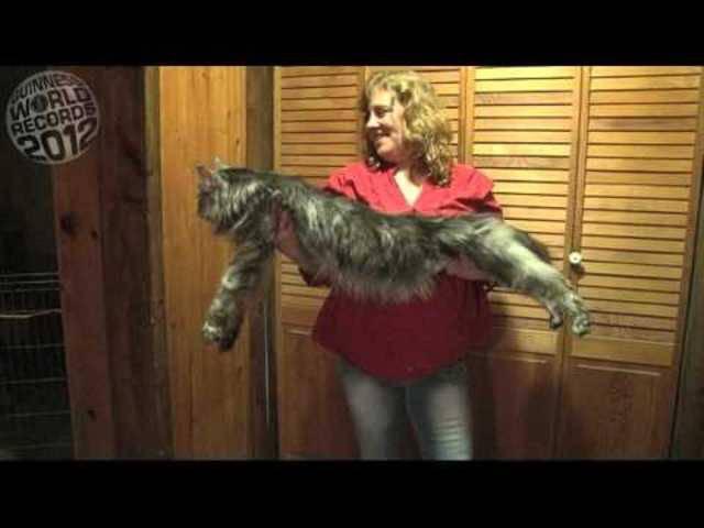 Diese Maine Coon bricht alle Rekorde: «Stewie» ist mit 123 Zentimetern die längste Hauskatze der Welt.