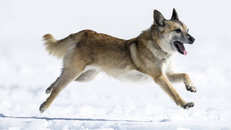 Hündin Flo in Aktion an den Schweizer Meisterschaften der Lawinenhunde im Berner Oberland.