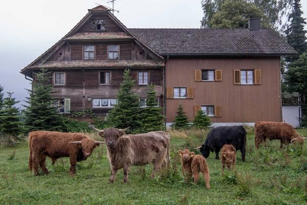 Schottische Hochlandrinder weiden vor dem 300 Jahre alten Bauernhof. Im linken Hausteil wohnen die Airbnb-Touristen.