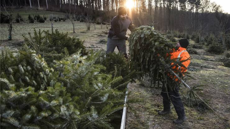 Die Ernte steht an: Beispielsweise in Kirchberg BE werden dieser Tage Christbäume geschnitten und zum Verkauf bereitgemacht.Peter Klaunzer/Keystone