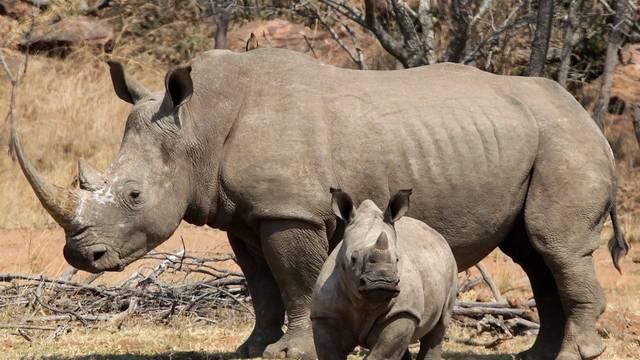 Nashörner fallen häufig den Wilderern zum Opfer (Archiv)