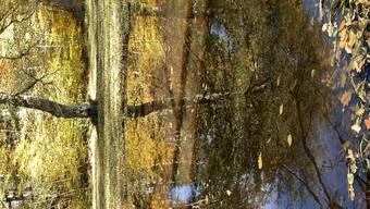 Herbstspiegelung im Allmendli im Urdorfer Wald 2. 11. 20