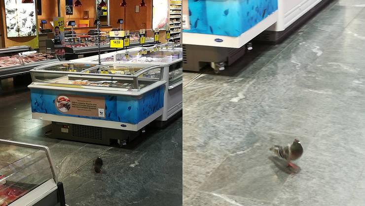 Eine Taube im Coop Sälipark.