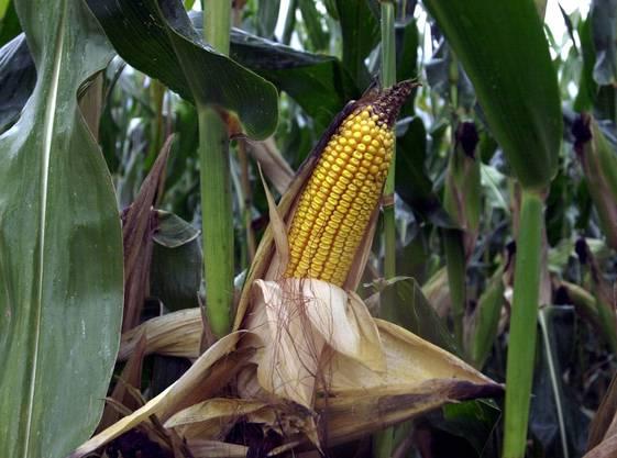 Bei einer Population von 1, 4 Maiswurzelbohrer pro Pflanze kann für die Maisbauern erheblicher wirtschaftlichre Schaden entstehen.