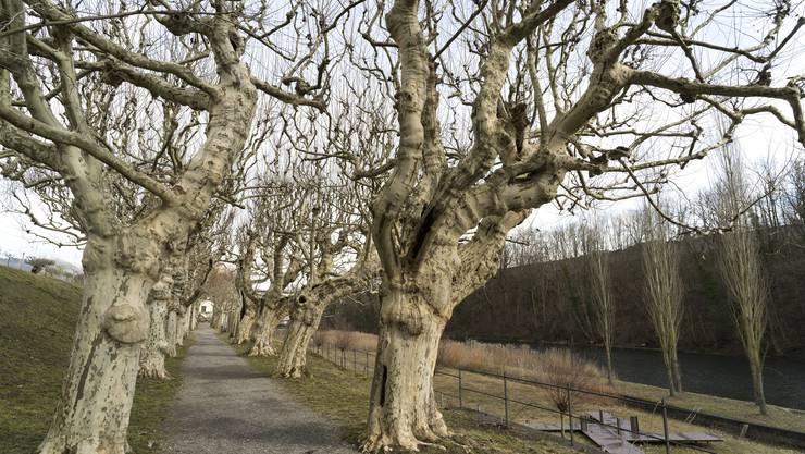Die Platanen beim Kloster Wettingen wurden bereits um das Jahr 1780 gepflanzt. Früher standen die Bäume so dicht, dass die Gärtner von Krone zu Krone gehen konnten.