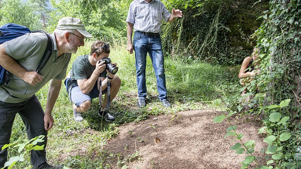 Haben ihren Platz gefunden: Die Waldameisen auf dem neuen Insektenpfad im Tierpark Goldau.