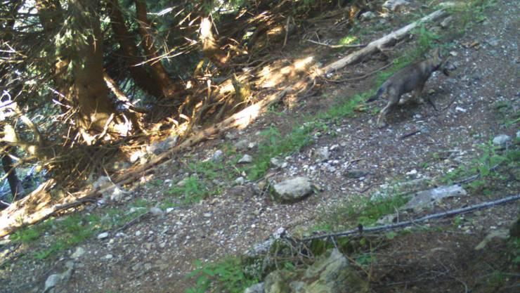 Ein Jungwolf tappte im Morobbiatal in die Fotofalle.