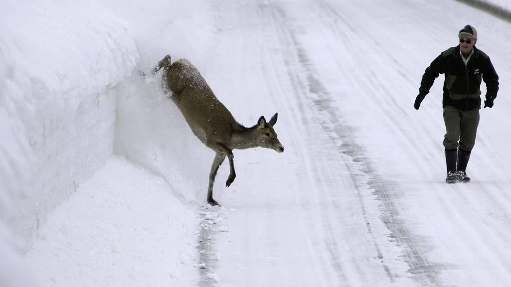 Wildtiere kommen momentan in die Täler, um Nahrung zu suchen. (Archivbild)