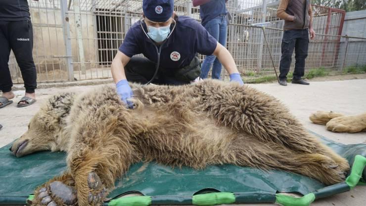 Die einzigen Überlebenden des Zoos in Mossul - die Bärin Lula (Bild) und der Löwe Simba - sind sicher in der Wildtierrettungs-und Rehabilitierungsstation New Hope Centre in Amman (Jordanien) angekommen.
