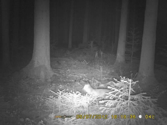 Auch eine Fotofalle wird aufgestellt: Allerdings werdem nur Füchse, Vögel, Rehe und ein Hirsch abgelichtet.