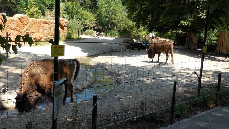 Wisente im Tierpark Lange Erlen