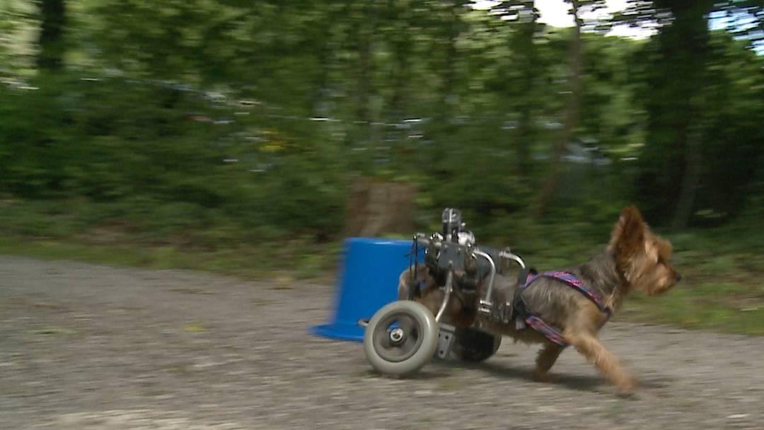 Rollstuhl-Hunderennen in Brugg: Beckas Geschichte ist eine traurige