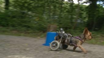 Becka rennt: Eindrücke vom Rolli-Rennen am Handicap-Day für Hunde auf der Schacheninsel in Brugg.
