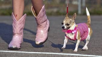 Der Trendhund, den die Schweizer gerne importieren: Der Chihuahua.