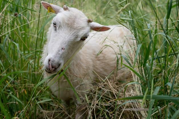 Rasen-Määäher: Die von der Stadtgärtnerei gemieteten Skudde-Schafe beim Allschwilerweiher.