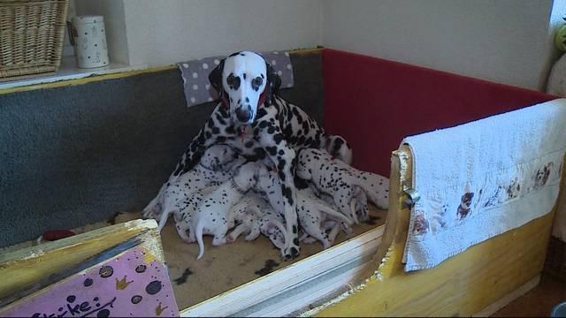 1(0)1 Dalmatiner