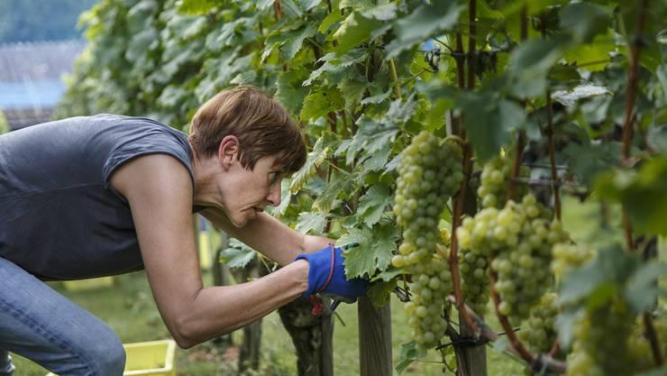 Auch der Rebbauverein Bachtelen in Grenchen konnte dieses Jahr früh mit der Traubenernte beginnen.