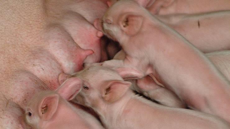 Die Schweinezucht hat auch ihre Schattenseiten.AZ-ARCHIV/ Wal