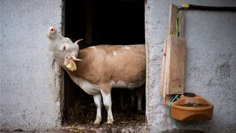 Hornkühe sind in der Schweiz rar geworden: Die Initianten sagen, eine von zehn Kühen trage Hörner.Gian Ehrenzeller/Keystone