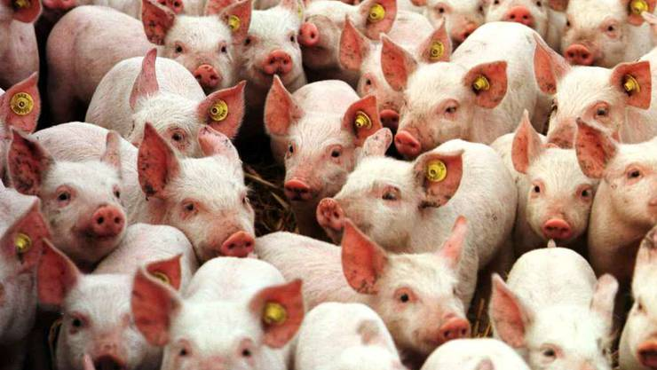 Blick in einen Schweinemast-Betrieb (Archiv)