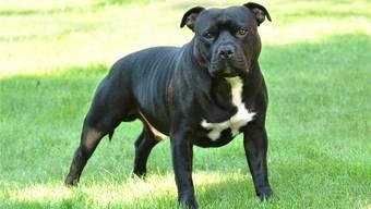 Der Hund der Beschuldigten gehört zu den Rassen mit erhöhtem Gefährdungspotenzial, wie dieser American Staffordshire Terrier (Symbolbild).