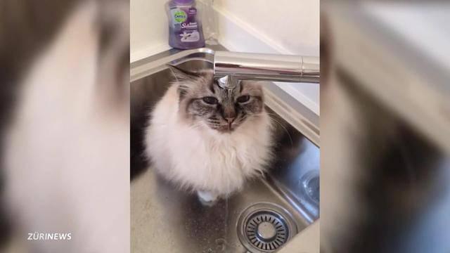 Katzen verschwinden spurlos in Zollikon
