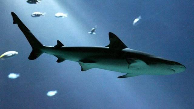 Das Tauchverhalten des Riffhais wird offenbar vom Vollmond beeinflusst (Archiv)
