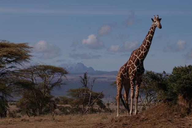 ...und selbst Giraffen halten nach über 60 Jahren wieder Einzug im Zürcher Zoo.