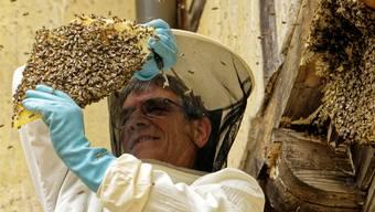Imker Max Tschumi schnitt scheibenweise Waben vom Balken, unter welchem das Bienenvolk «hauste».