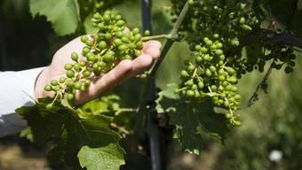 """Während die Besorgnis der Schweizer über die Umweltbedingungen wächst, werden auch mehr Bioprodukte gekauft. Das gilt namentlich in der Romandie, wo mehr als die Hälfte der Konsumenten überwiegend Produkte aus biologischem Anbau bevorzugen - wie hier die Weinsorte """"Divico"""". (Archivbild)"""