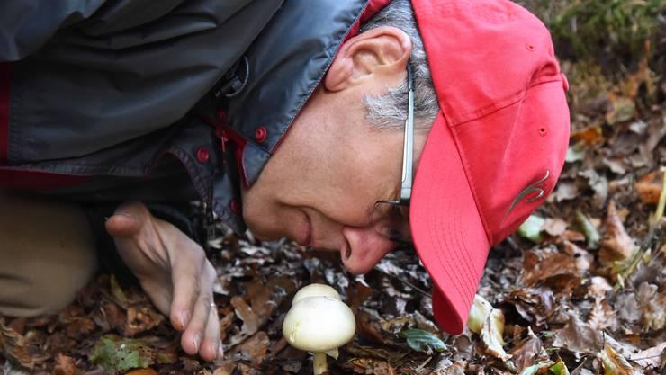 Zur Bestimmung des weissen Pilzes riecht Heinz Walter an ihm. Er riecht nach Anis. «Das ist ein Anis-Champignon», verkündet der erfahrene Pilz-Sammler.