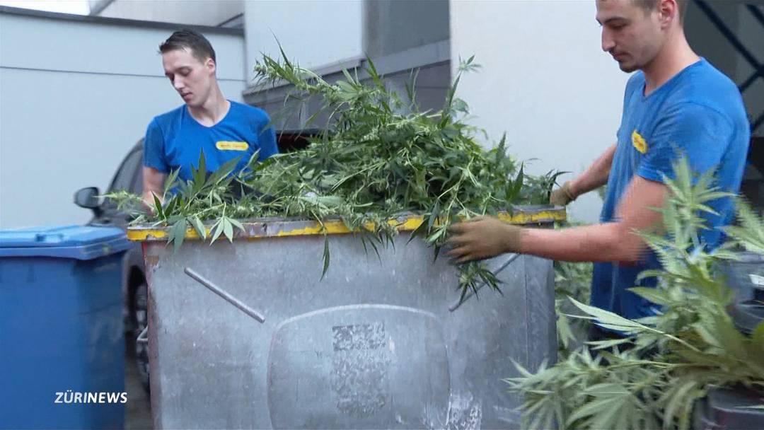 Polizei räumt eine Hanfplantage in Regensdorf.