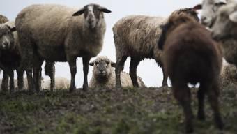 Über 250 Schafe starben im vergangenen Juni in Iselisberg TG, weil ihr Futter durch einen Tierkadaver vergiftet war. Ein Speziallabor bestätigte jetzt den Verdacht auf Botulinumtoxin (Archivbild)