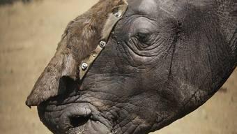 Nashörner werden in Südafrika nach wie vor zu Hunderten gewildert. 2018 fielen Wilderern fast 770 Tiere zum Opfer, ein Viertel weniger als ein Jahr zuvor. (Archivbild)