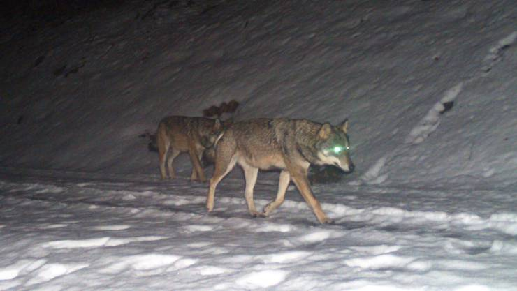 Vermutlich die Eltern des ersten Glarner Rudels: Zwei Wölfe tappten im Februar am Kerenzerberg in eine Fotofalle.