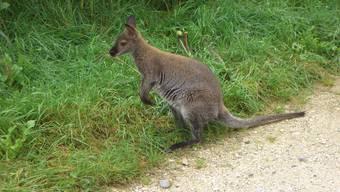 Entlaufene Kängurus erregten 2006 im Uerkental viel Aufsehen.