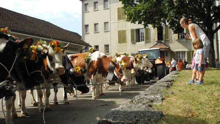 Die Kühe stehen gestriegelt und geschmückt bereit für den Alpabzug am 6.Chästag