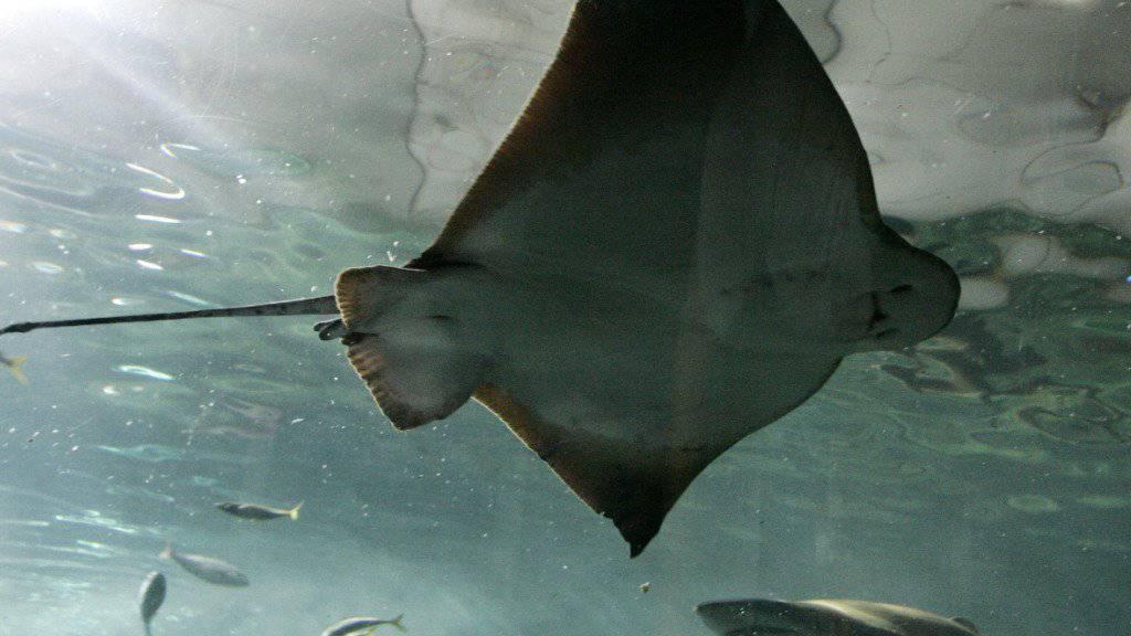 Ein Stachelrochen hat vor der australischen Insel Tasmanien einen Schwimmer tödlich verletzt.